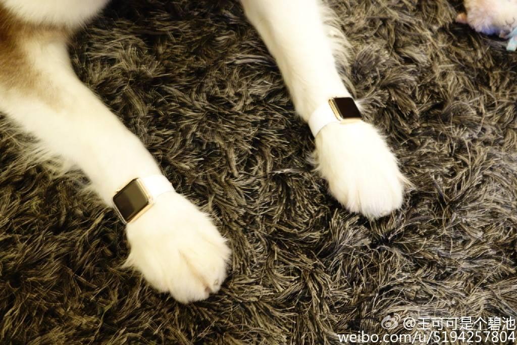 Dog of Wang Sicong, son of Chinese billionaire Wang Jianlin