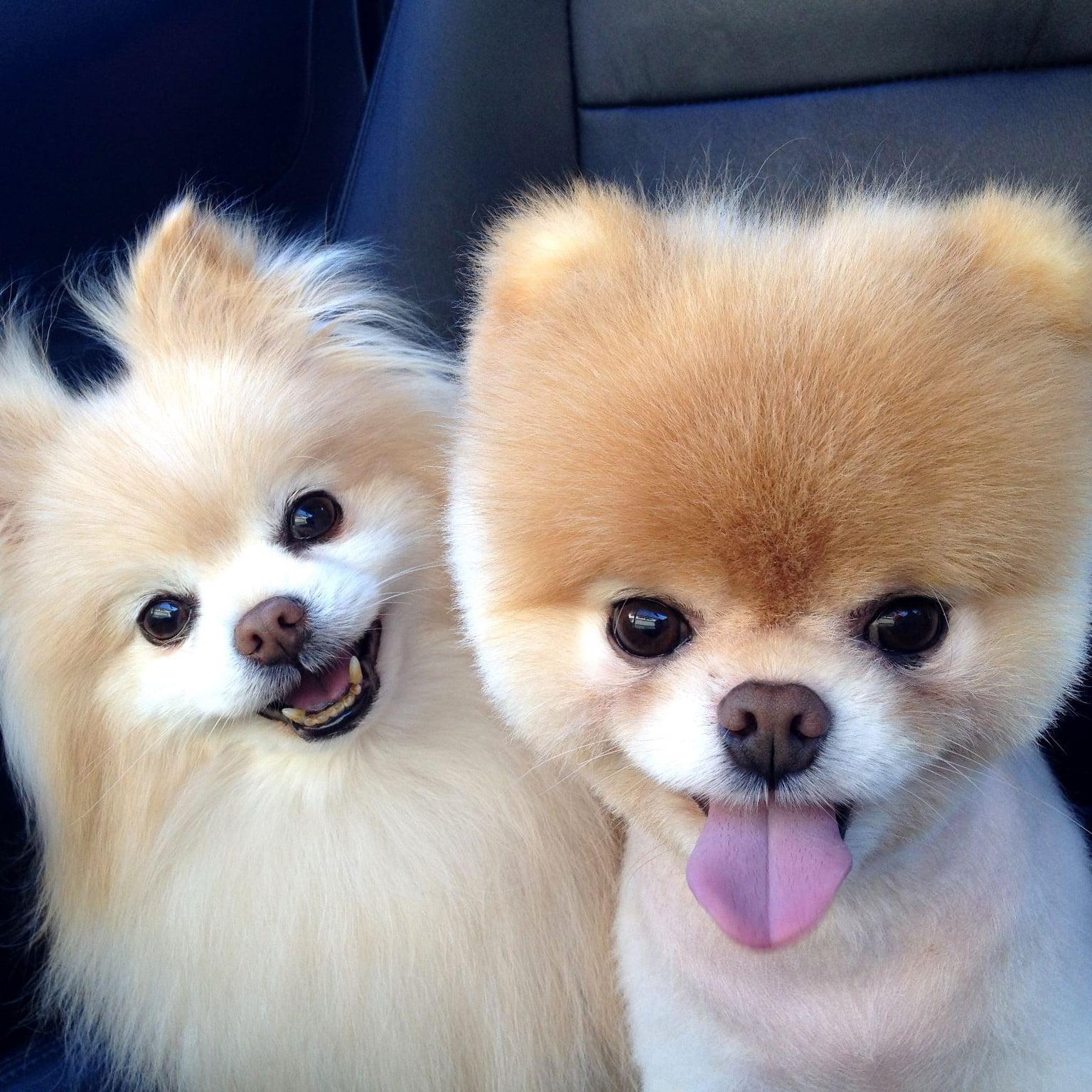 Cute Pomeranian Pictures | POPSUGAR Pets