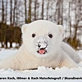Siku the Baby Polar Bear in the Snow Pictures