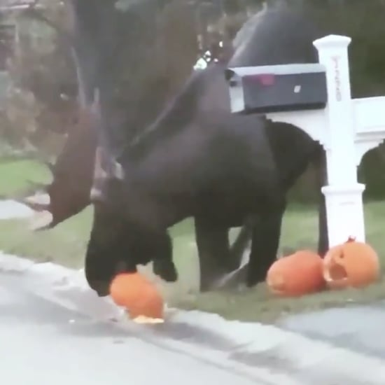 Viral Video of a Moose Eating Halloween Pumpkins