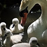 Peep These Adorable Early-Bird Baby Swans!