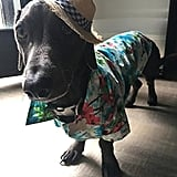 Hawaiian Shirt For Dogs on Amazon