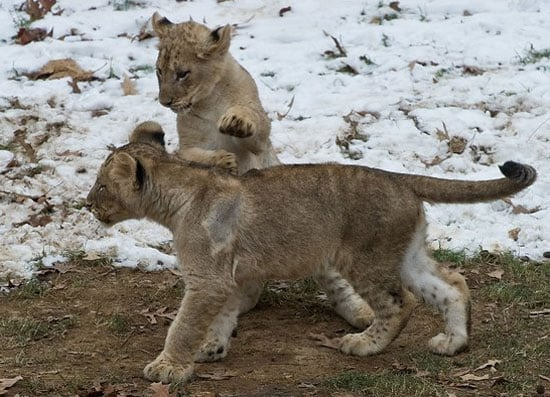 National Zoo Lion Cubs