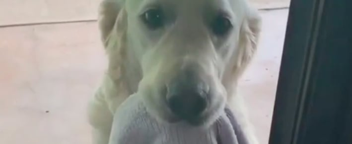 Video of Golden Retriever Carrying Towel to Dry Paws
