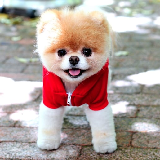 Cute Boo the Dog Pictures