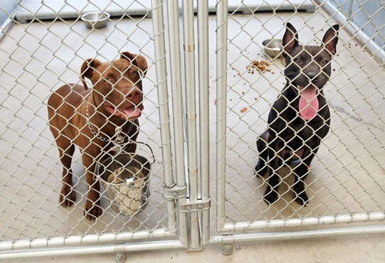 I Need Your Help . . . Multiple Pit Bull Household?