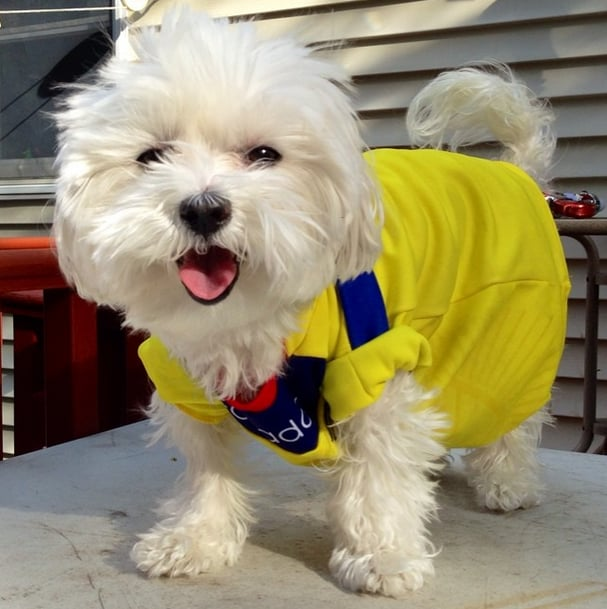 Luna the Maltese is cheering for Ecuador in the perfect-size jersey. Source: Instagram user lunathebaby