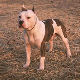 American Staffordshire Terrier Trivia