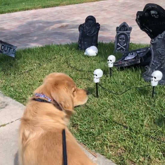 Video of a Golden Retriever Scared of Halloween Decorations