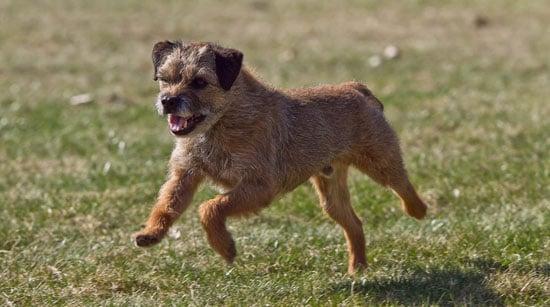 Border Terrier Trivia