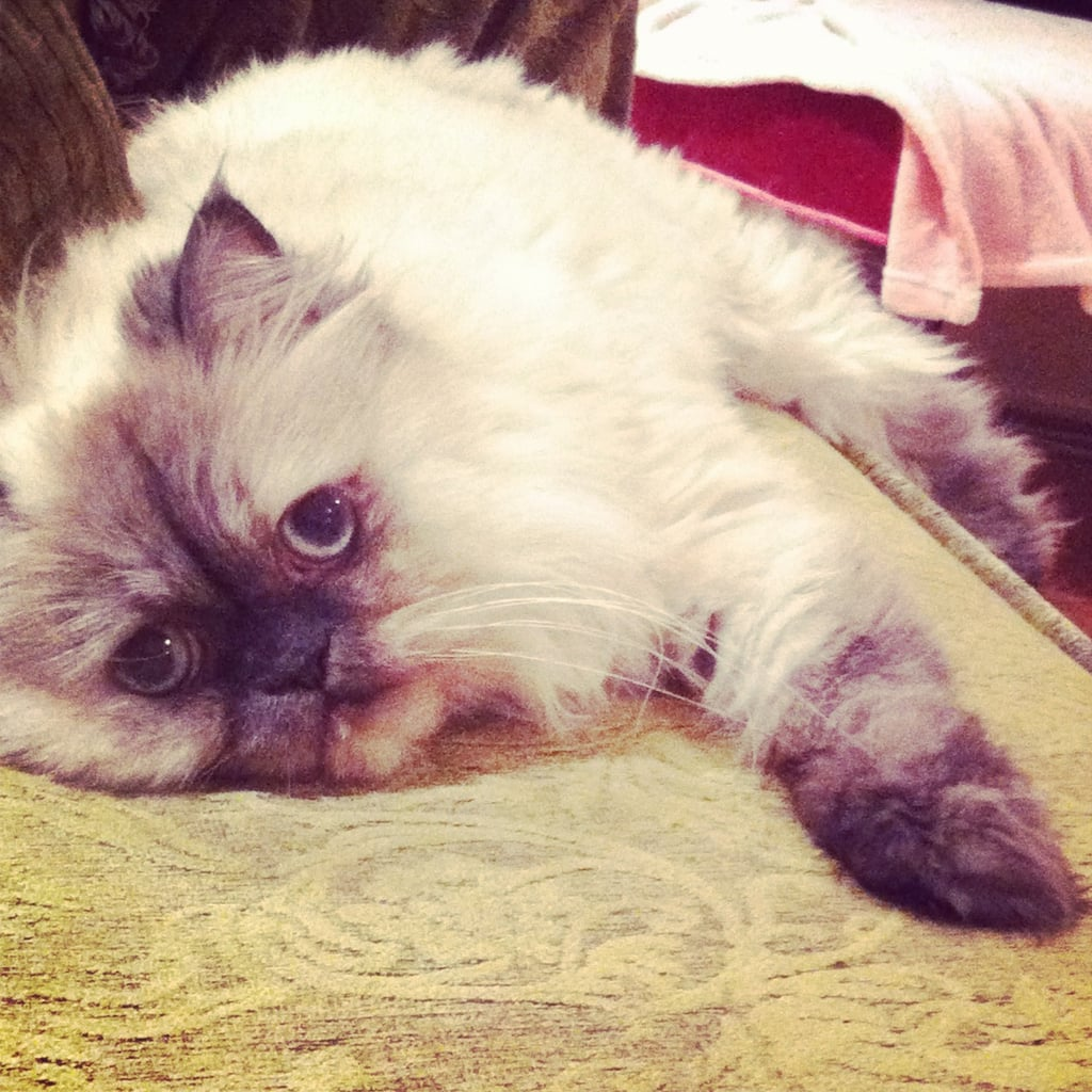 FabSugarTV Reporter Allison McNamara's rescue kitty, Milly, is a Lilac Point Himalayan.
