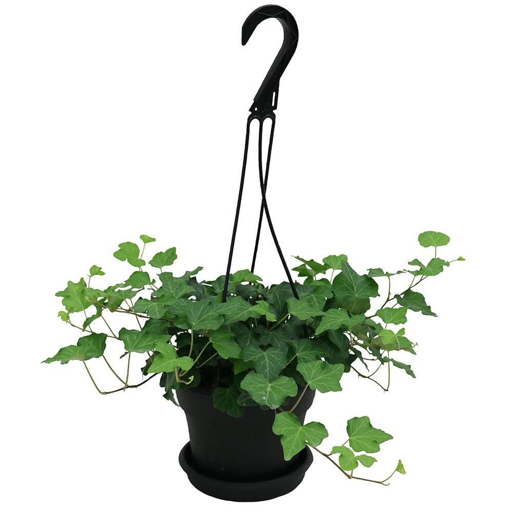 Best Trees and Plants From Home Depot   POPSUGAR Home on jade plant home depot, indigo plant home depot, lipstick plant home depot,