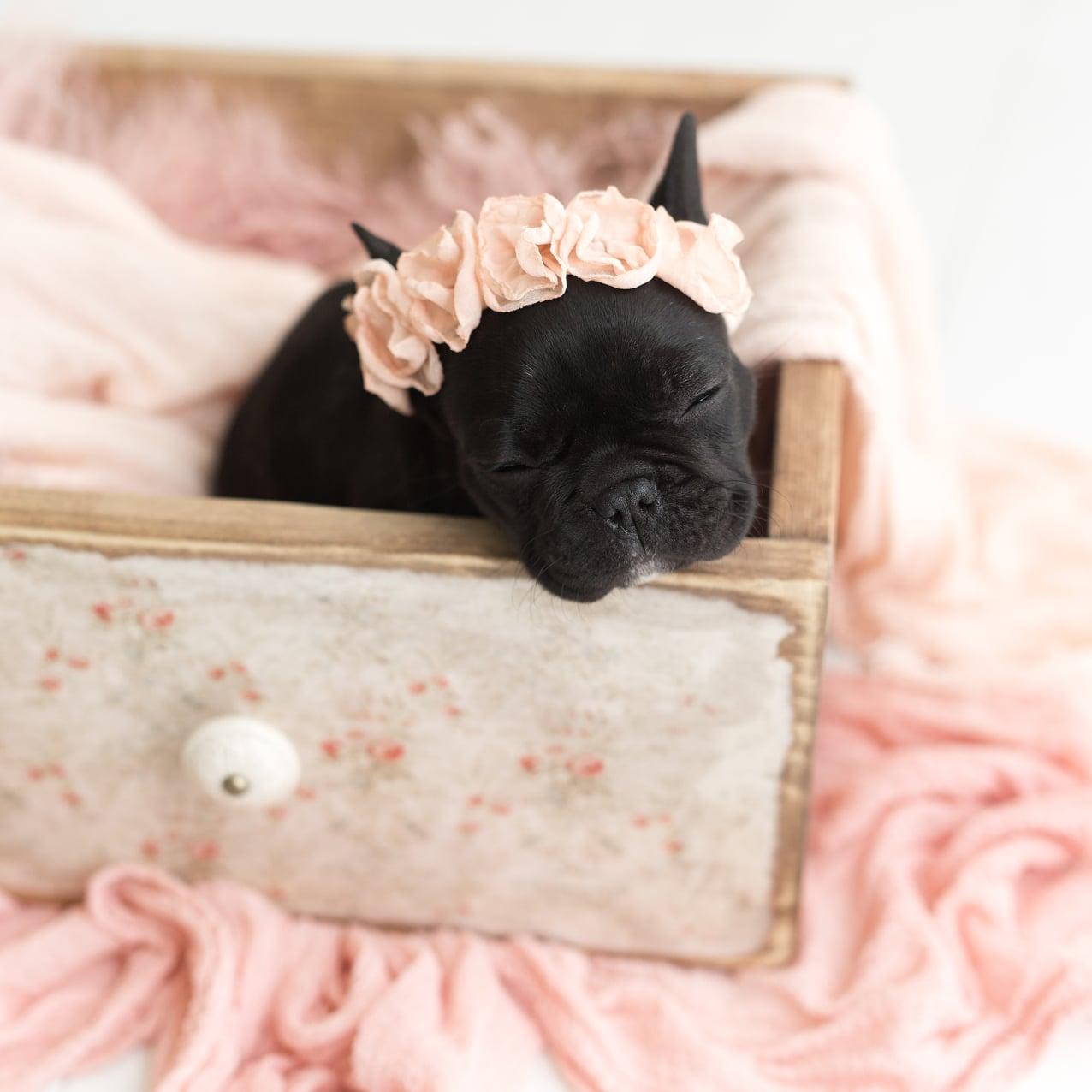 Newborn Photo Shoot With French Bulldog Puppy Popsugar Family