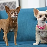 "To see more of Ella Bean, make sure to follow her Instagram account, which her human started as a creative outlet. For the video content on Ella's account, her human said she collaborates with her husband, an accomplished filmmaker. The ultimate goal of Ella Bean's Instagram account is to raise awareness about puppy mills. Ella Bean's human said, ""I've made many new friends in real life, we've attended social events to raise money for rescue, and I hope to continue doing more of that!"""