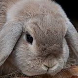 Lop ears could give Eeyore a run for his money. Source: Flickr user captainsubtle