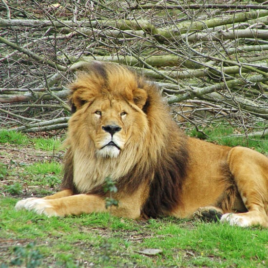 Circus Lion Touches Grass For the First Time | Video