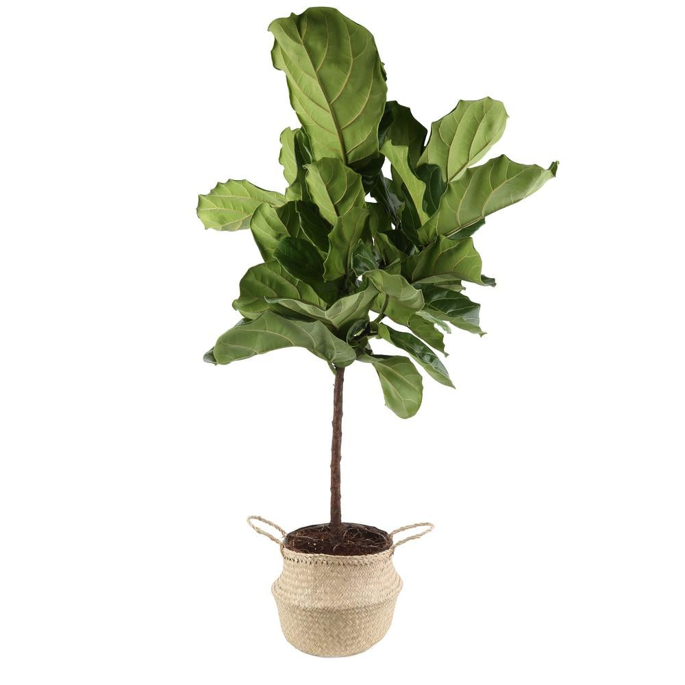 Ficus Lyrata Fiddle-Leaf Fig