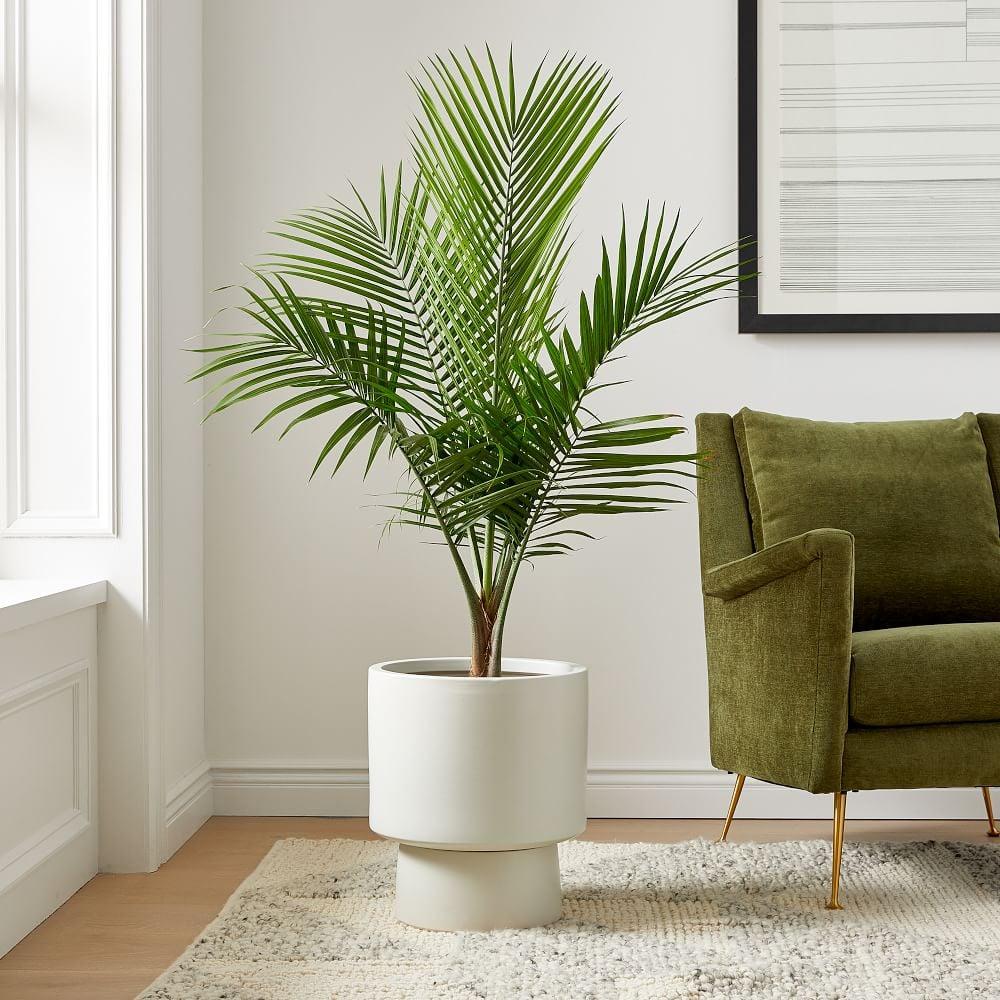 Live Majesty Palm Plant