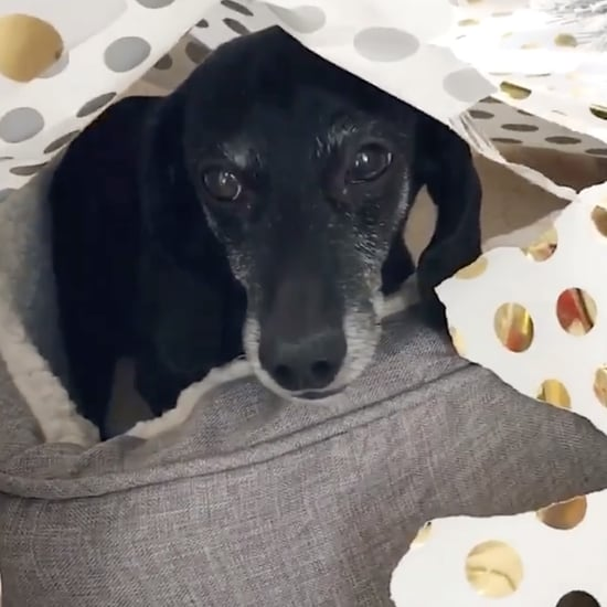 Dachshund Who Opened His Dog Bed Christmas Present   Video