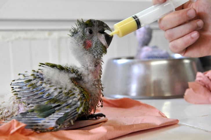 Baby Macaw Gets Bottle Fed!