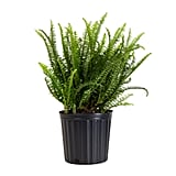 Kimberly Fern Plant