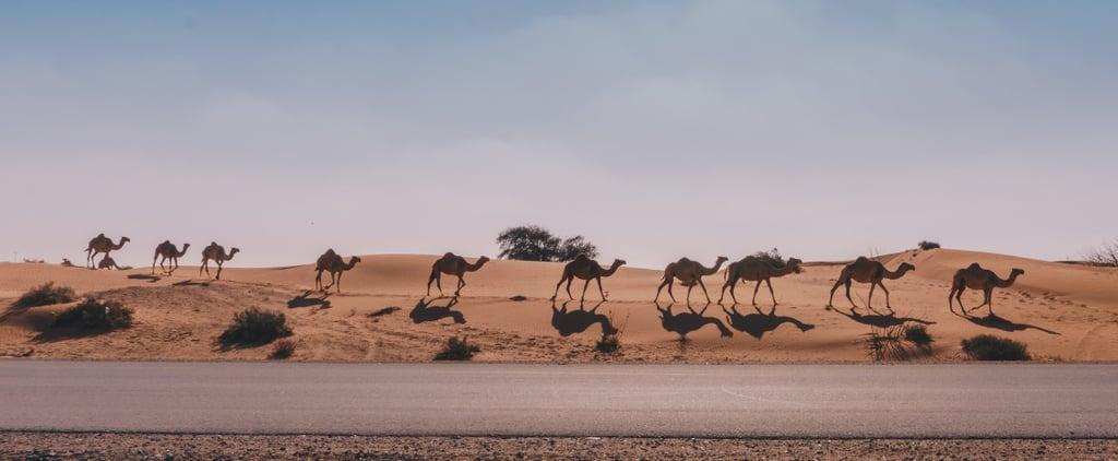 الأنفاق المخصّصة لعبور الإبل ليست إلّا واحدة من مزايا هذا الطريق المحوريّ الجديد في أبوظبي