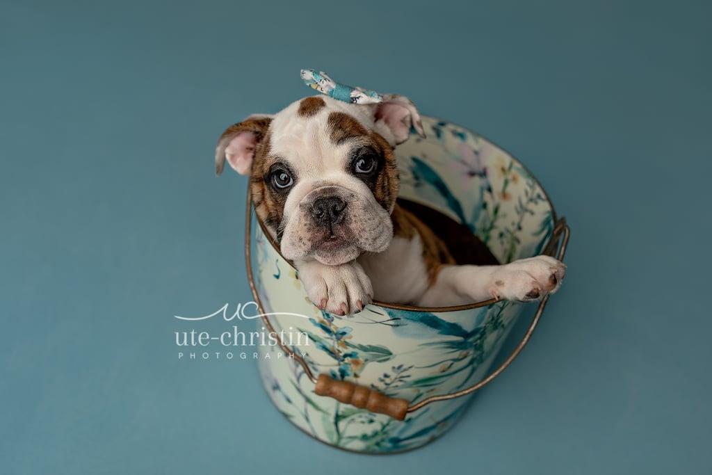 Newborn English Bulldog Puppy Photos For Valentine's Day
