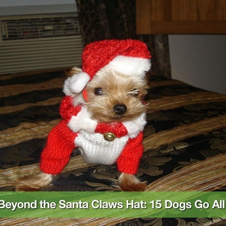 Pictures- Dogs in Christmas Costumes 1530058941