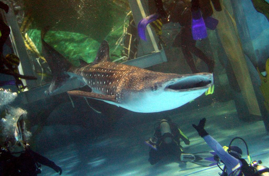 Whale Sharks!
