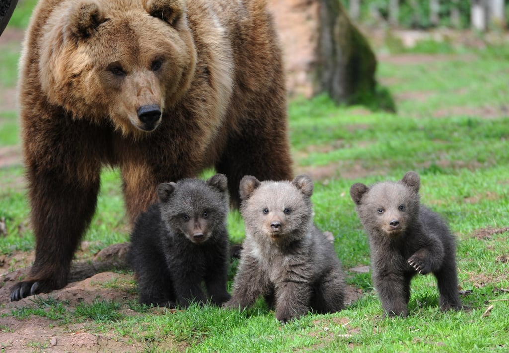 Ursus arctos, or the brown bear, is a species among which at least 16 subspecies have been found. It's estimated that the largest, the Kodiak bear, can weigh up to 1,400 pounds in the wild.