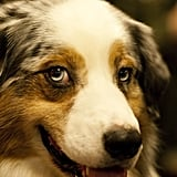 The lovely blue eyes of an Australian Shepherd.