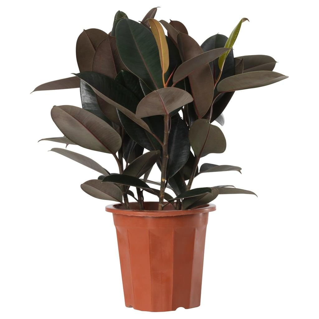 Ficus Elstica Potted Plant