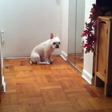 Sad French Bulldog Crying With Adele Video