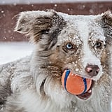 Cute Pictures of Australian Shepherds