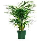 Areca Butterfly Palm
