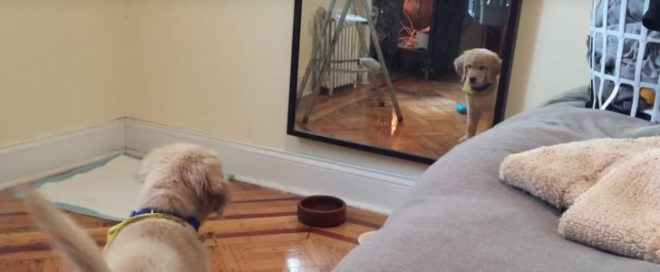 Golden Retriever Pup Just Wants to Play With His Reflection