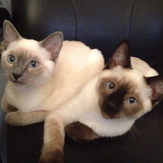Siamese-one-oldest-breeds-domestic-cats-has