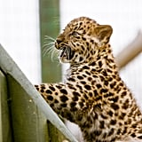 This little leopard is elated by his view. Source: Flickr user MacJewell