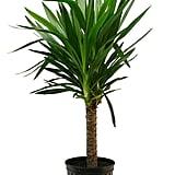 Yucca Cane ($35)