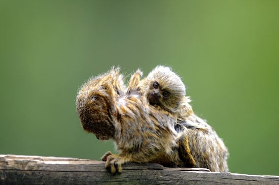 Pygmy marmosets aren't considered endangered animals yet, but they are becoming more and more popular as pets, which could threaten their existence in the wild. Best to just view these little guys at the zoo!