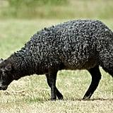 """""""Baa, Baa, Black Sheep"""""""