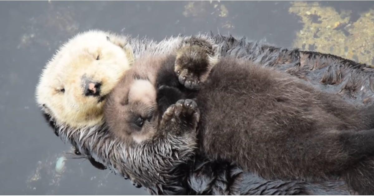 Mom Holding Baby Otter Video Popsugar Pets
