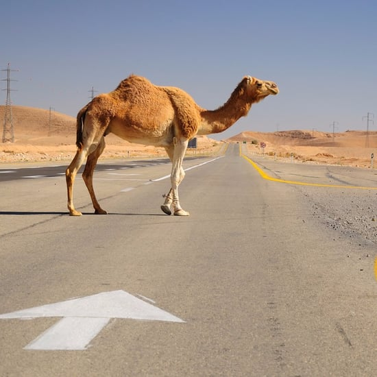 Two Camels Cause Traffic Jam in Dubai