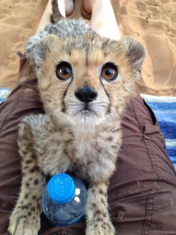 This rescue cheetah