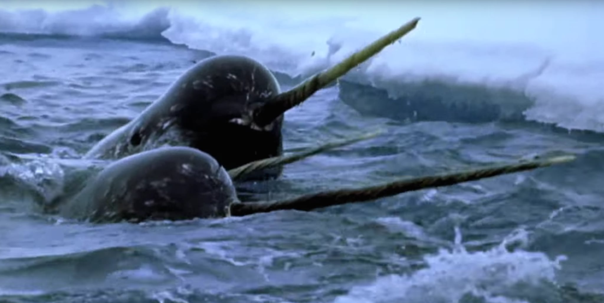 narwhal safari in arctic canada popsugar smart living