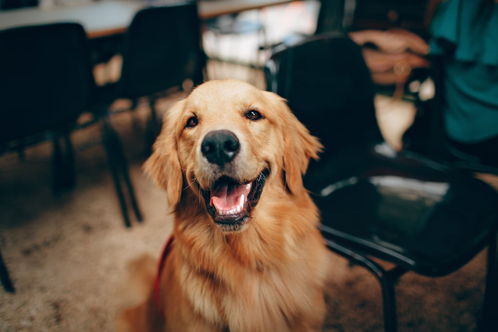 What Kind of Health Problems Do Golden Retrievers Have?