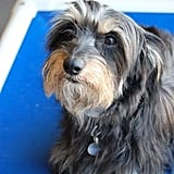 Patty Pan, a Yorkie-Dachshund Mix