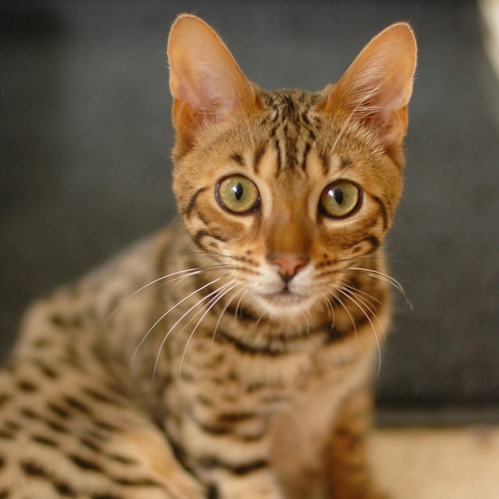 Pictures of Bengal Cats