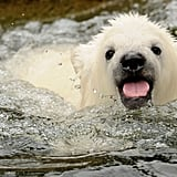 Little polar bear Flocke took a dip at the Nuremburg Zoo.