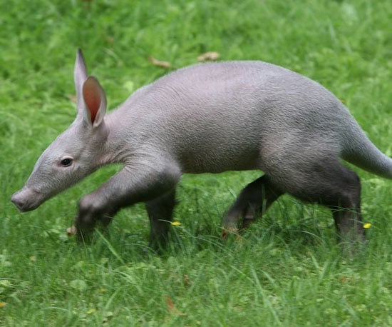 A Is For Aardvark So Learn All About Them